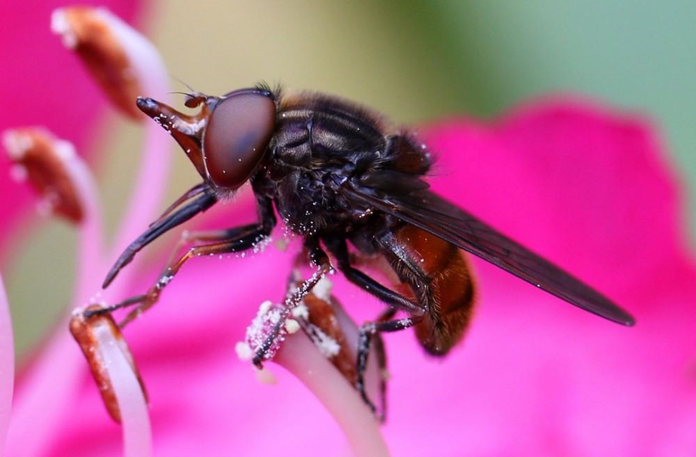 Greg Maude 1366 Rhingia campestris - Hoverfly